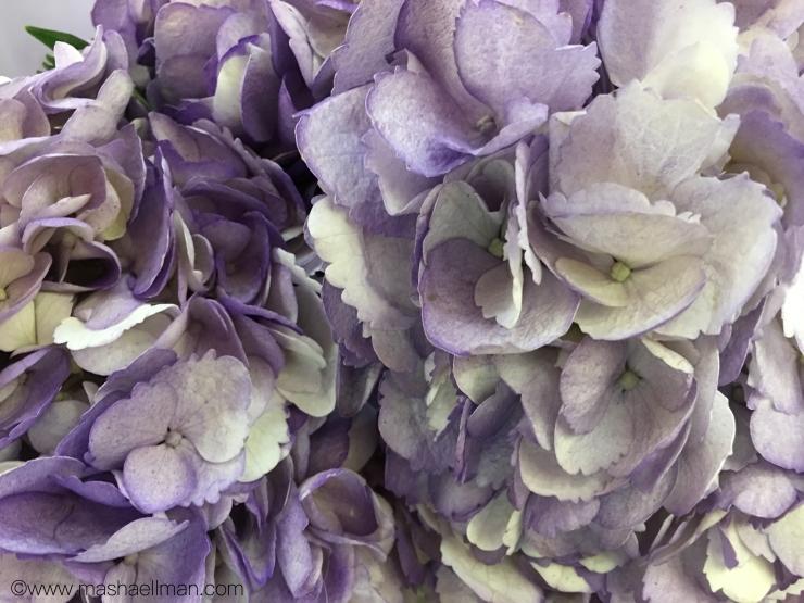 Hydrangea lavender.jpeg