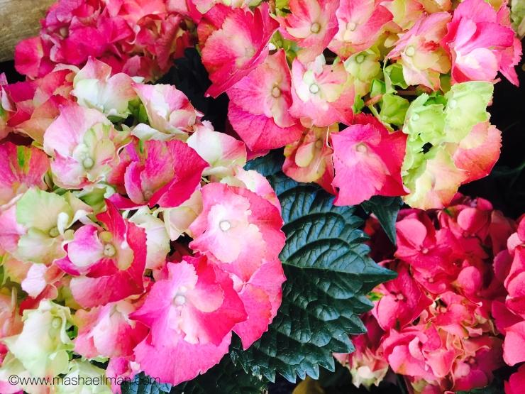 Hydrangea pink.jpeg