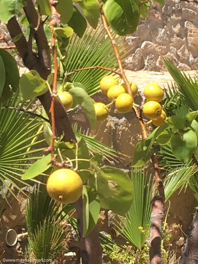 Lemon tree.jpeg