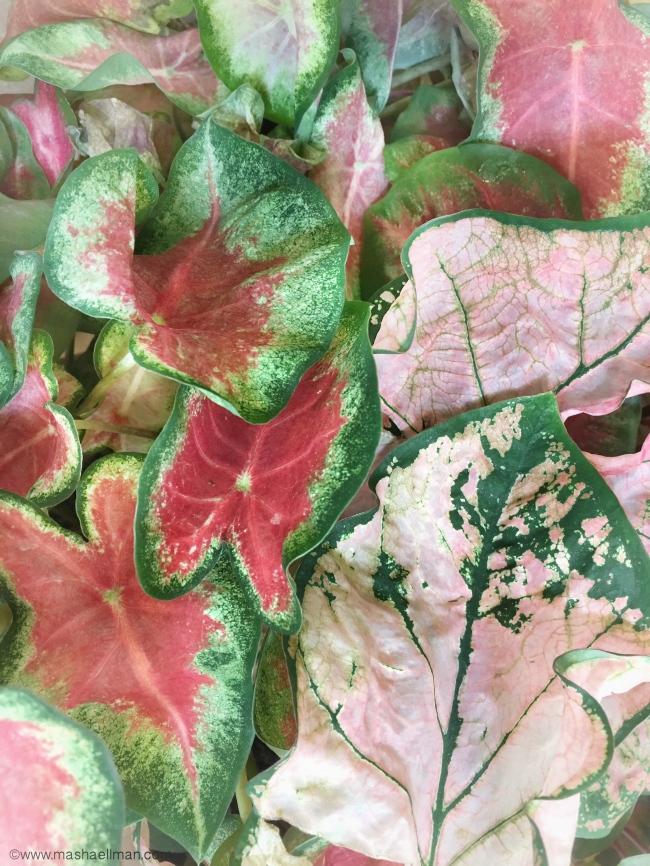 Multi color leaves3.JPG