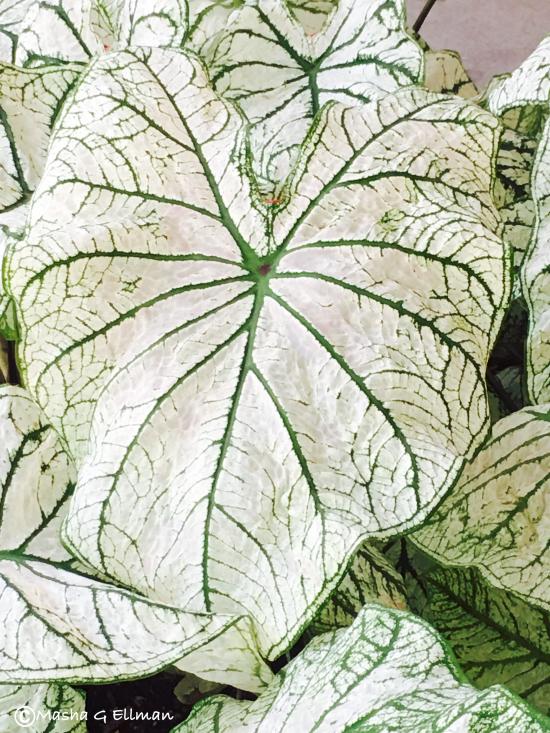 white leaf3