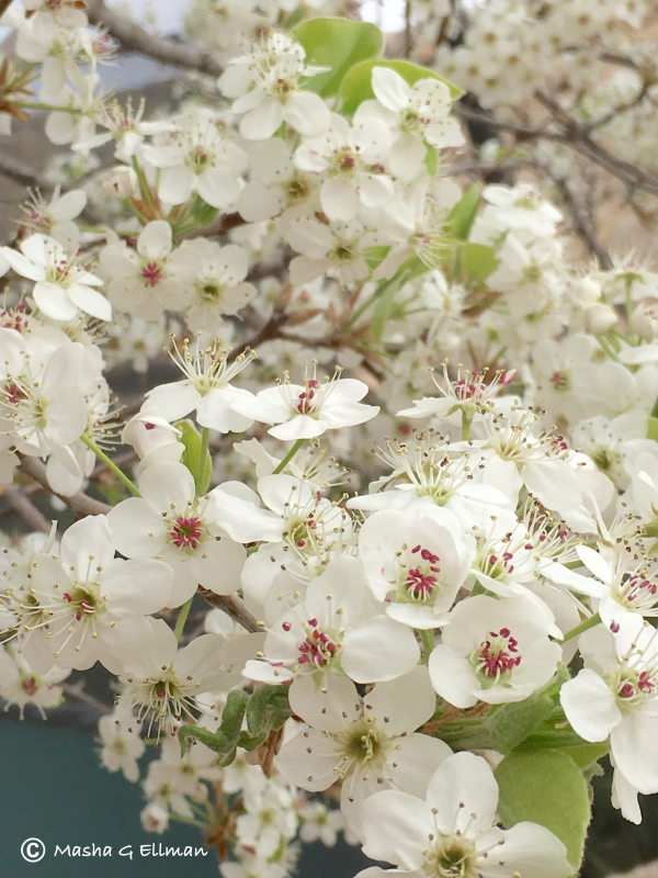 white flower tree2